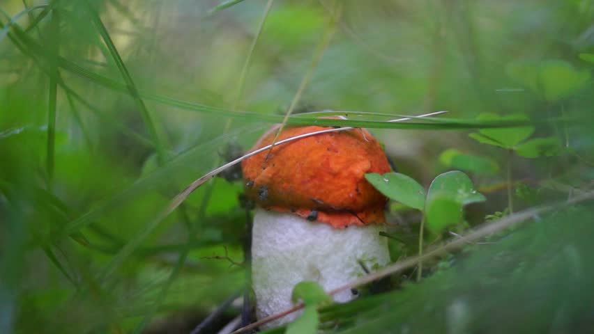 Small mushroom in grass cut | Shutterstock HD Video #18588896