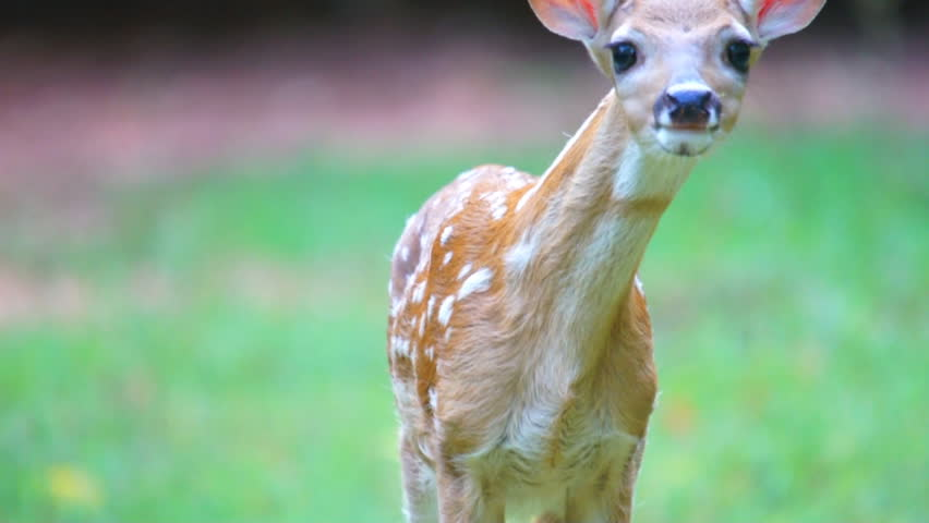 Whitetail deer fawn during spring