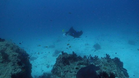 Reef manta ray swimming on cleaning station, Manta alfredi HD, UP24400