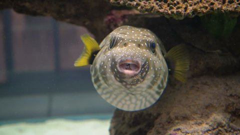 Cute Pufferfish 4K. Funny face of a cute blowfish or pufferfish in coral reef in a tropical fish aquarium.