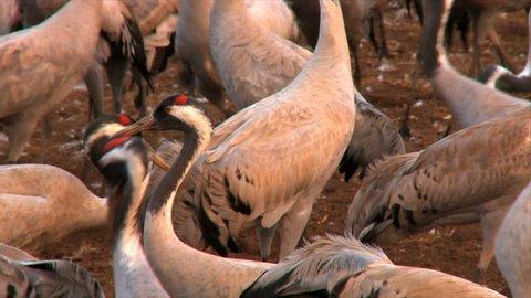 Buffalo Milk Dairy Farm Hyderabad Stock Footage Video (100