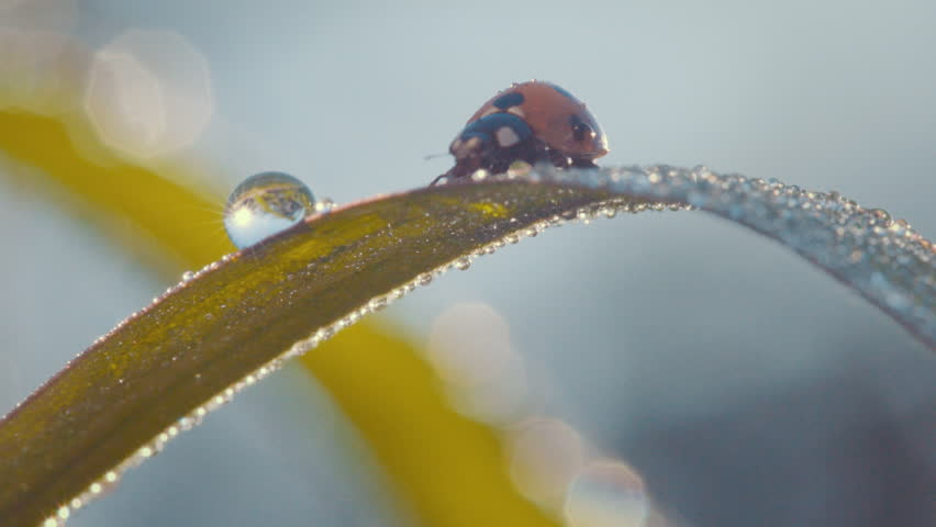 ladybug drinking dew on a leaf
