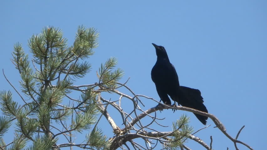 A male boat-tailed grackle displaying from the top of a pine tree on a windy day; Green Valley Park in Payson Arizona