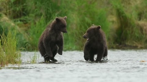 Slow motion of two Alaskan brown bear cubs play fighting in the shallows of the Brooks River in Katmai National Park, Alaska