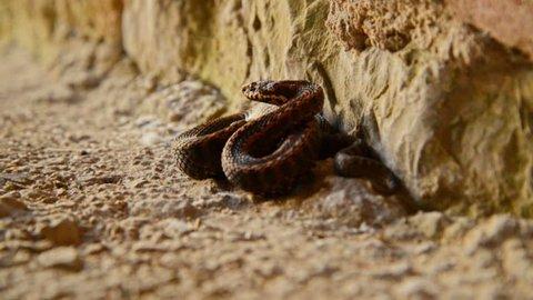 Wild snake ready to strike