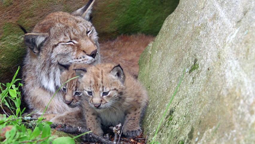 eurasian lynx mother cubs in front at den