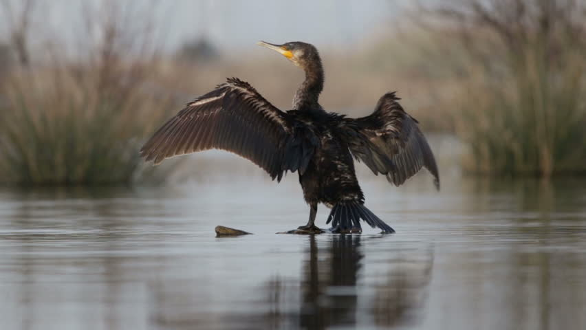 Cormorant dries its wings on the trunk #18885536