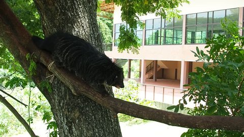Binturong on the tree