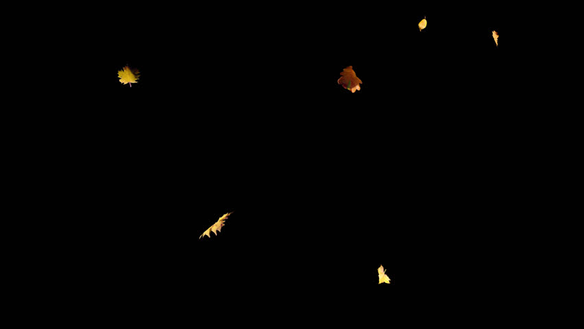 Falling autumn yellow leaves from top in slow motion, closeup wide view, with start and end, isolated on alpha channel with black white matte, perfect for digital composition, film video mapping