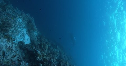 Vertical shot of Reef manta ray swimming on coral reef, Manta alfredi 4K UltraHD, UP36075