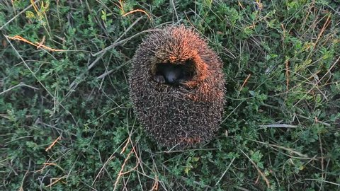 hedgehog sleeping.The hedgehog sitting in a grass has exposed the prickles what to be protected from an attack.hedgehog