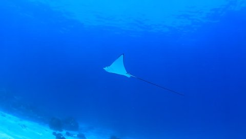 Spotted Eagle Ray swimming in clear blue water