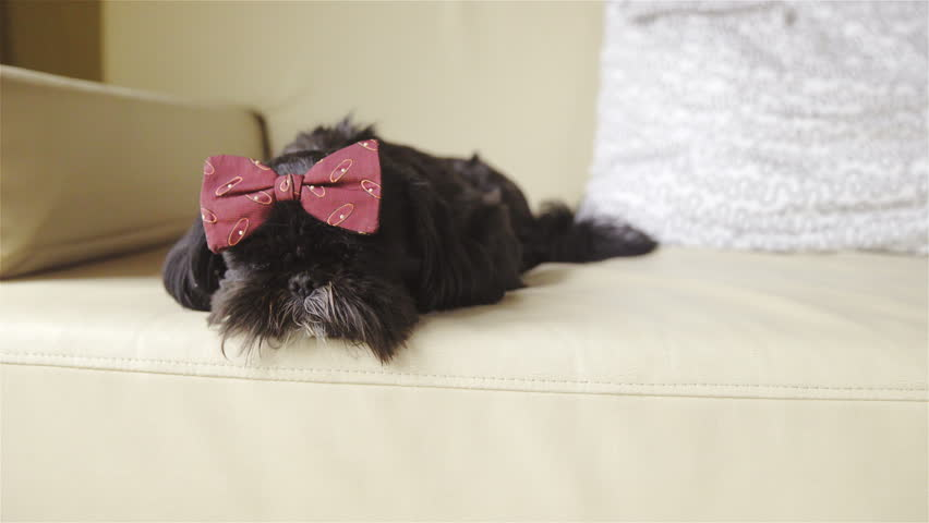 Beautiful Bow Tie Bow Adorable Dog - 1  Graphic_469285  .resize(height:160)
