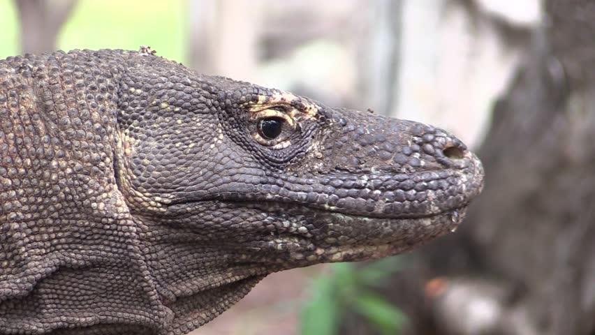 Komodo dragon flicking its tongue