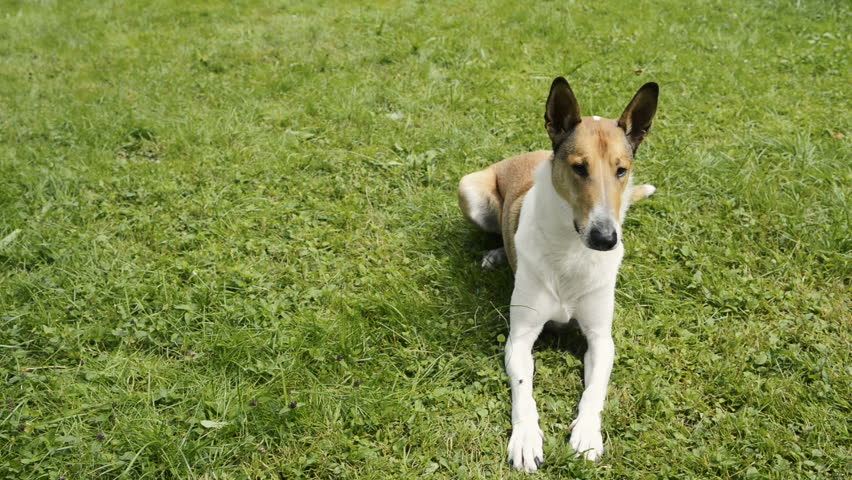 Smooth Collie pet dog lying on the lawn | Shutterstock HD Video #19354966