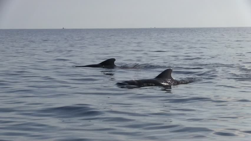 Pilot Whales swimming on surface in Sea of Celebes on a sunny morning #19360066