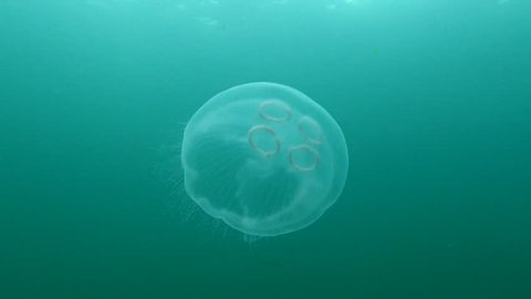 Black Sea, the Gulf of Odessa. Aurelia aurita (also called the moon jelly, moon jellyfish, common jellyfish, or saucer jelly) is a widely studied species of the genus Aurelia.
