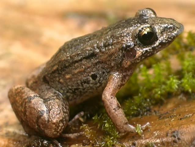 Header of Adenomera andreae