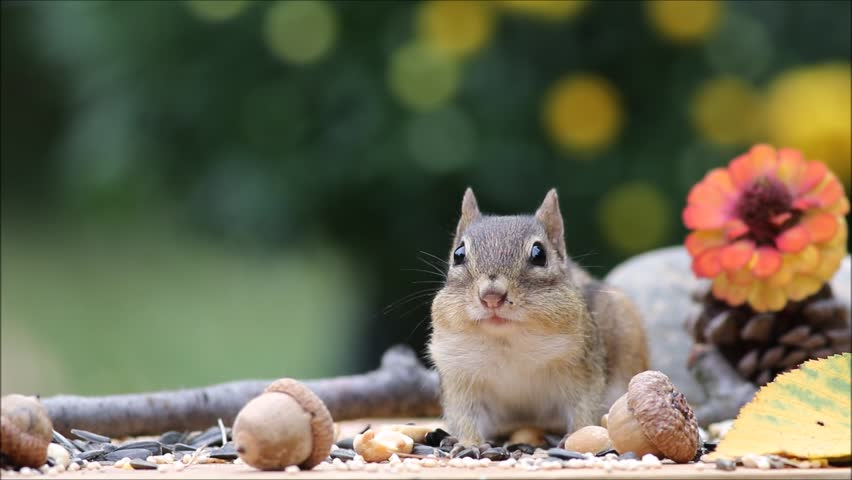 Cute and adorable Eastern Chipmunk gathers nuts and seeds in early Fall season
