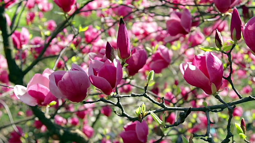 Pink Magnolia Flowers Flowers Of Stock Footage Video 100 Royalty