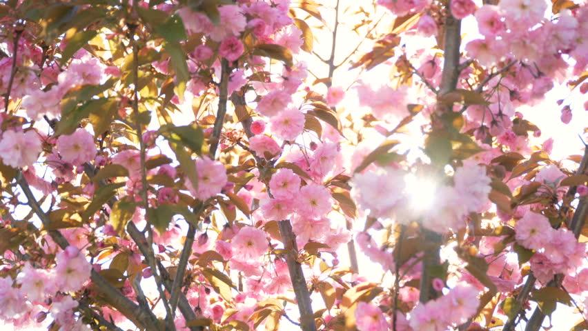 Cherry Or Japanese Sakura Tree Stock Footage Video 100 Royalty