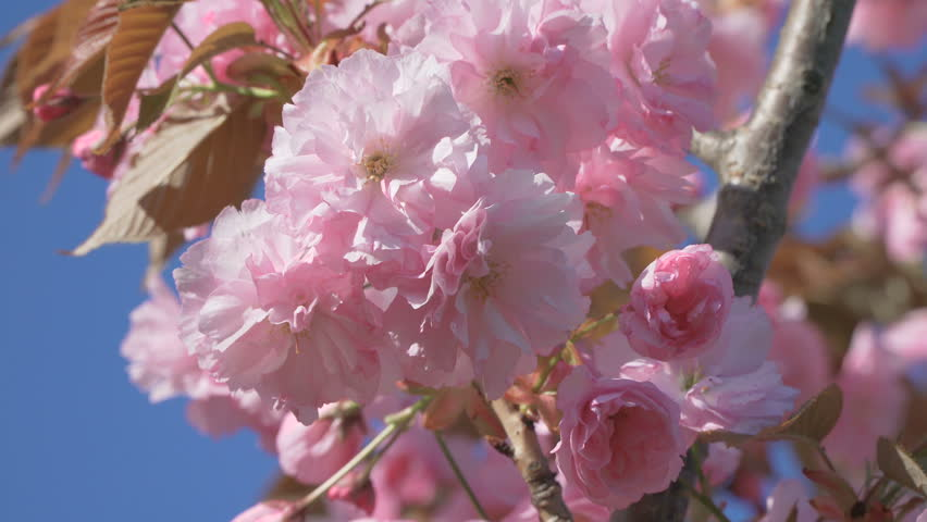 Blue Sky Cherry Blossom Pink Stock Footage Video 100 Royalty Free
