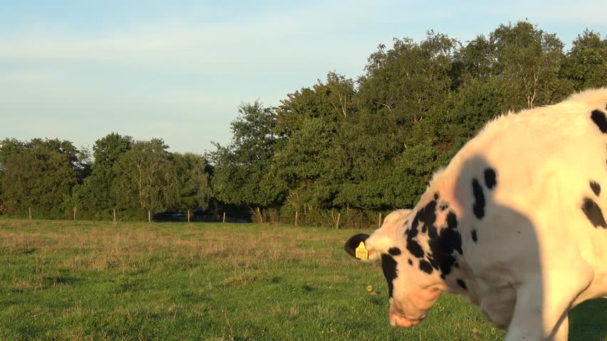Weird crazy Holstein cow fetching a small ball thrown onto grassland young animal walking up to camera then after small green ball is thrown runs after it and fetches the small ball for recreation 4k