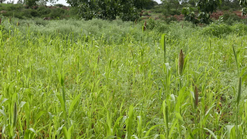 4k footage of Pearl millet field at village Veer, near Pune, Maharashtra, India.