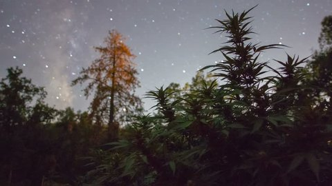 Marijuana Plant Night Time Lapse Motion Control