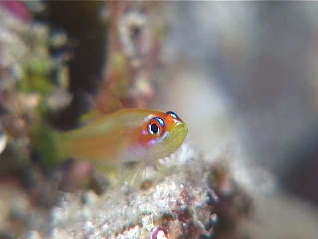 Pale dwarfgoby, Trimma anaima, UP11311