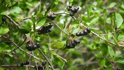 Branch of the ripe berries of a chokeberryBranch of fresh fruits of black chokeberry,aronia.Black ashberry,Black rowan,Black chokeberry (Aronia melanocarpa) - branches of the tree in the garden.Black