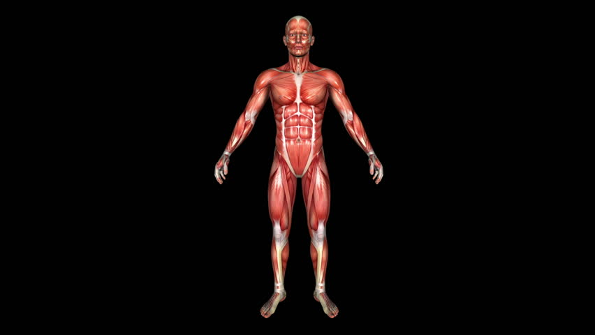 The Human Normal Body Muscle Animation. Loop. Alpha Matte