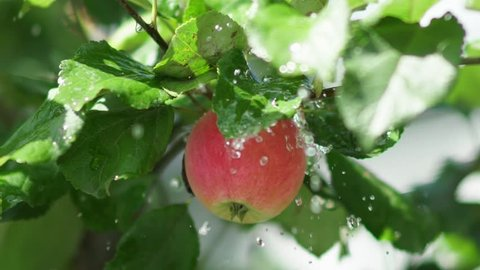 Red apple with rain drops on the tree. Apple tree wet from the rain. Rain in the apple orchard. Red apple, juicy greens. Fruit tree. Juicy red apple on the tree branch.