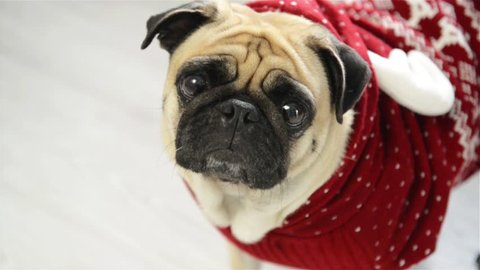 Dog of breed a pug in a reindeer suit. The clever animal looks in the camera sad eyes. Merry Christmas. Happy New Year.