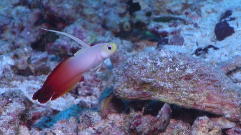 Fire dartfish swimming on sand and coral rubble, Nemateleotris magnifica HD, UP17057