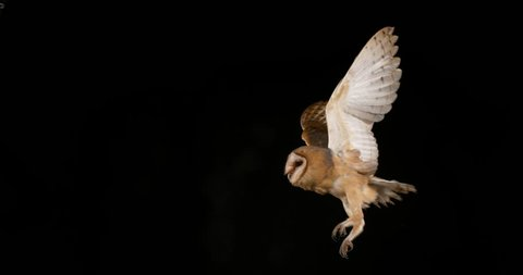 Barn Owl, tyto alba, Adult in flight, Normandy, Slow Motion 4K