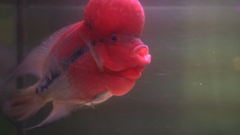 Flower Horn Cliched fish in the aquarium. Cichlid red head