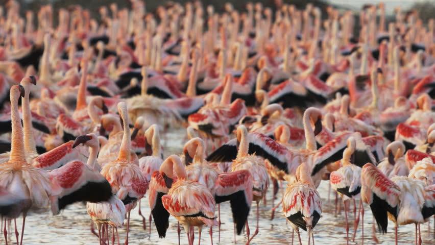 Close up of a flock of lesser flamingoes at lake bogoria in kenya