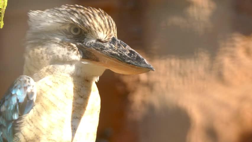 The Blue-winged Kookaburra (dacelo Leachii) Stock Footage Video (100%  Royalty-free) 20137486 | Shutterstock
