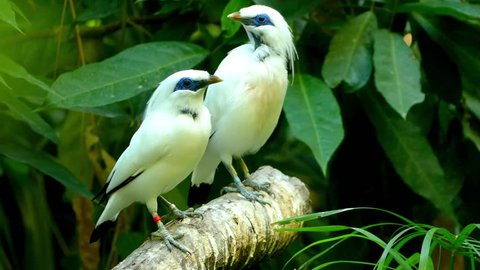 The Bali myna (Leucopsar rothschildi), also known as Rothschild's mynah, Bali starling, or Bali mynah, locally known as jalak Bali, stocky myna, almost wholly white with a long, drooping crest.