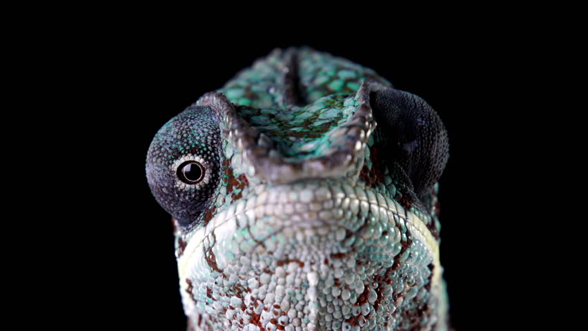 Macro shot of a chameleon's head.