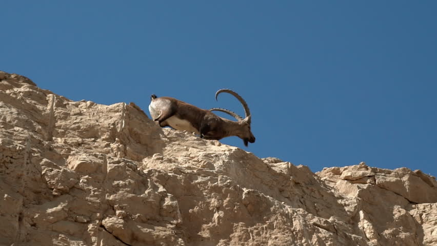 Mountain goat walking in the mountains of Israel