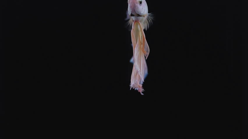 Colourful Thai Fighting Fish or better known as Siamese fighting fish #20255716