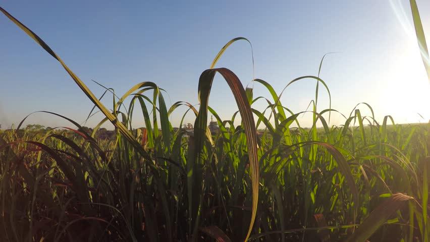 Sugar cane factory plantation