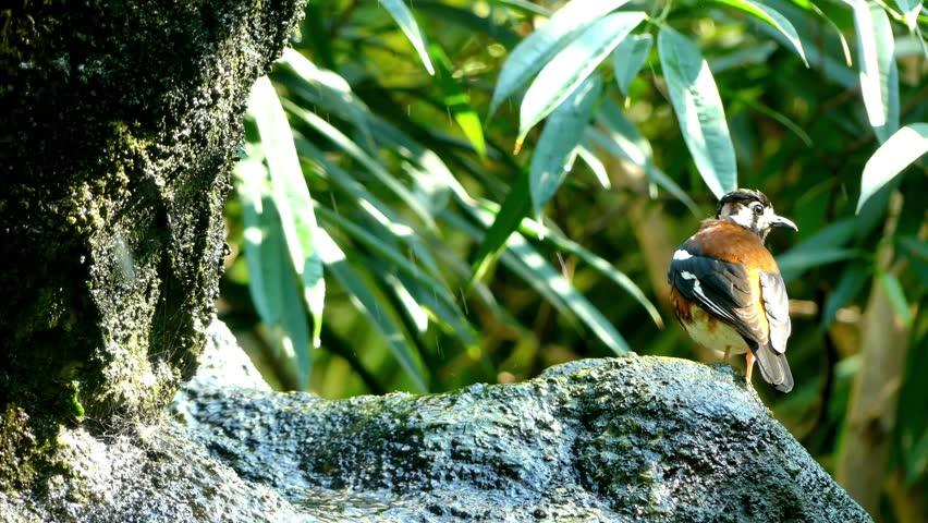 Header of Chestnut-Backed Thrush