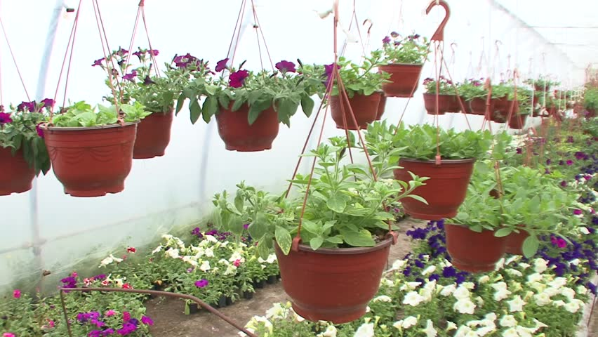 Flowers In A Greenhouse Pots Hd Stock Video Clip