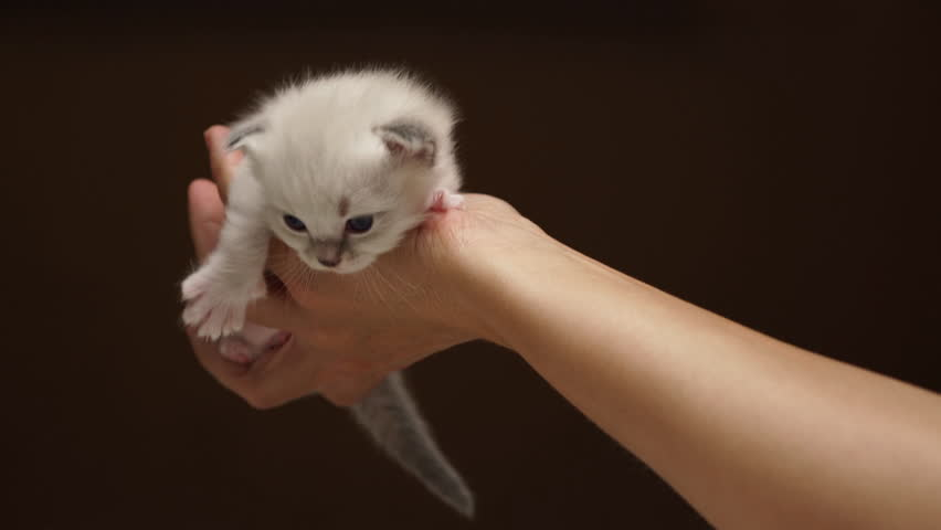 4k footage curious ragdoll baby cat on hand