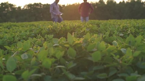 Two farmers inspect soybean field at sunset