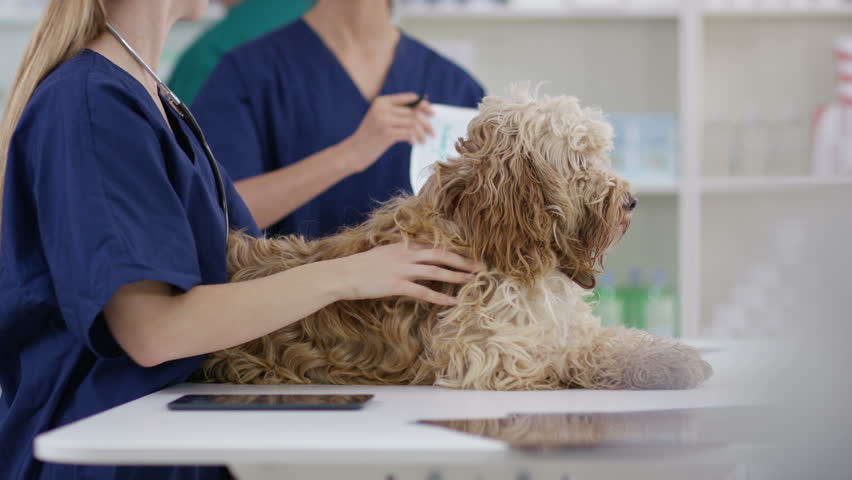 4K Veterinarians examining cute dog in clinic. Shot on RED Epic. | Shutterstock HD Video #20403808
