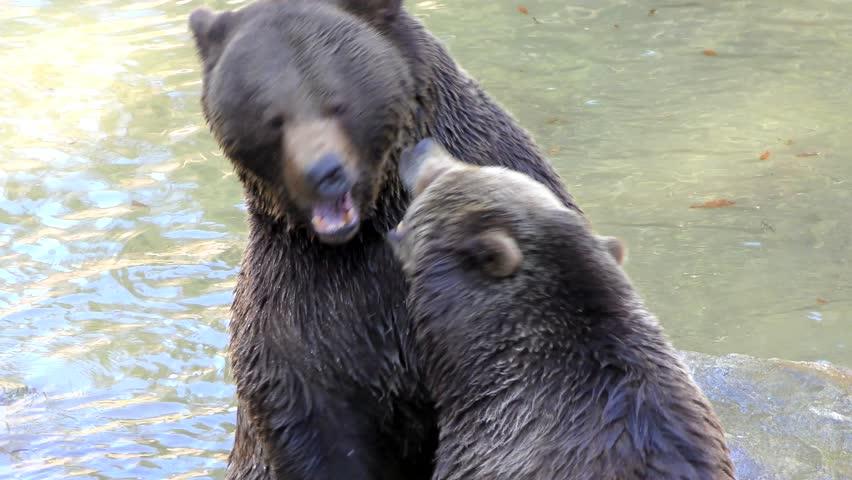 Brown Bears (Ursus arctos) in the Bayerischer Wald National Park, Bayern, Germany